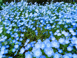 light blue flowers how to grow baby blue flowers nemophila menziesii