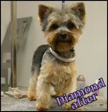 yorkie haircuts pictures only i like maggie cut in the short puppy cut just like this photo
