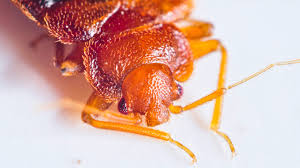 I Found A Bed Bug Now What Bed Bug Bites Symptoms And Treatments