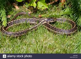 thamnophis garter snake tongue stock photos u0026 thamnophis garter