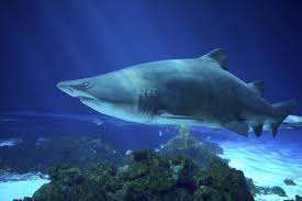 sand tiger shark sharkopedia
