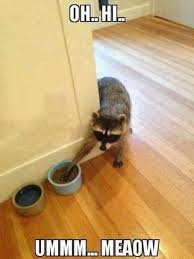 Sneaky Cat Meme - sneaky raccoon funny quotes cute memes animals adorable pets meme