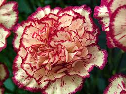 carnations flowers carnations 2 jpg