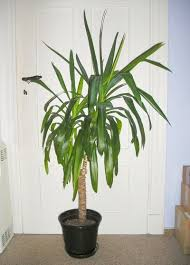 potted yucca plants u2013 how to care for a yucca houseplant