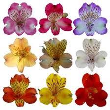 peruvian lilies online wholesale bulk discount alstroemeria peruvian tiger asst