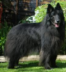 belgian shepherd breeds 108 best groenendael images on pinterest belgian shepherd