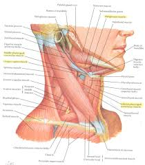 The Human Ear Anatomy Human Anatomy Chart Page 64 Of 202 Pictures Of Human Anatomy Body