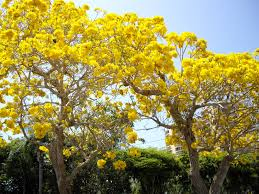 28 yellow flowered trees gifting trees the golden shower