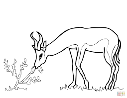 springbok from south africa coloring page free printable