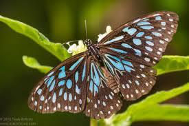 the blue tiger butterfly tirumala hamata macrokosm