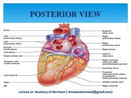 Sheep Heart Anatomy Quiz Anatomy Of The Heart