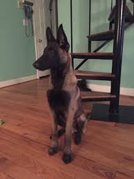 belgian sheepdog facts my belgian malinois bear don u0027t see many on here and wanted to