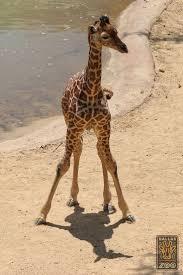 1138 best giraffes rule images on pinterest giraffes animals