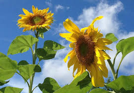 sunflower ribbon summertime at styring vineyards on ribbon ridge great northwest wine