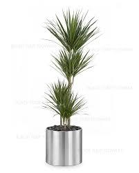 dracaena dracaena marginata dragon plant 3pp