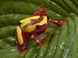 clown tree frog branson s