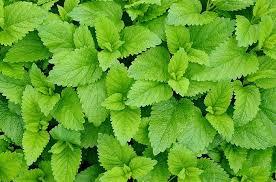 herbe cuisine quiz botanique cuisine herbes et aromates