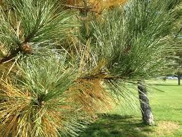 yellow needles in pine husker hort