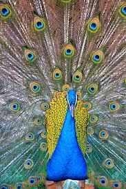 merak biru gambar alam sayap hewan margasatwa pola hijau paruh biru