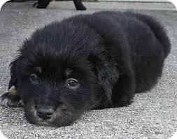 australian shepherd rottweiler mix puppies for sale success adopted australian shepherd rottweiler mix puppy for