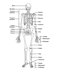 anatomy unit skeletal and project for awesome skeletal muscle quiz