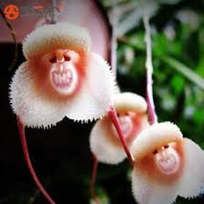 Monkey Orchid Discount Orchid Monkey Face Flowers Seeds 2017 Orchid Monkey