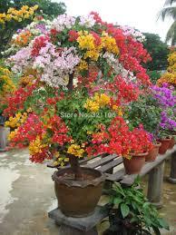 100 free shipping mix color bougainvillea balcony pots bonsai