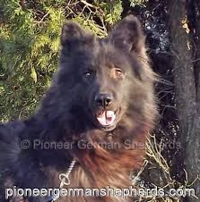 belgian sheepdog puppies for sale in pa giant shepherd breeders are you shiloh shepherd breeders are
