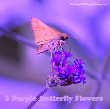 purple butterfly flower power 6 purpular butterfly plants