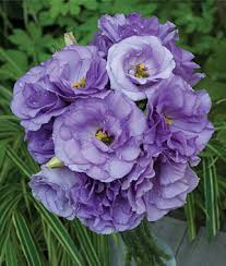 Lisianthus Blue Roseâ Lisianthus Seeds And Plants Annual Flower Garden At