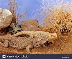 australian bearded dragon color sandfire gold