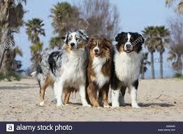 australian shepherd dog dog australian shepherd aussie three adults sitting blue merle