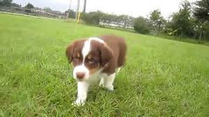 mini australian shepherd 8 weeks red tri australian shepherd puppy youtube