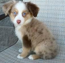 mini australian shepherd 6 months so i lost my australian shepherd about 6 months ago i have just