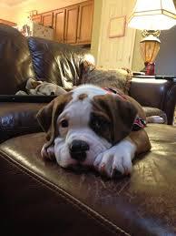 10 boxer dog facts valley bulldog english bulldog boxer mix cute puppy ah so
