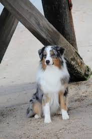 australian shepherd 11 weeks old 76 best australian shepherd images on pinterest australian