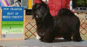 affenpinscher nc prairiwind havanese havanese puppies for sale akc havanese