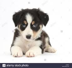 bearded collie x border collie puppies for sale collie stock photos u0026 collie stock images alamy