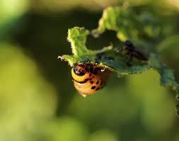 organic pest control how to make natural pesticides