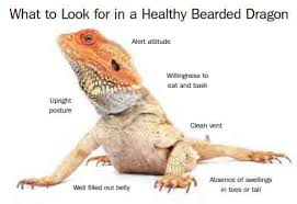 bearded dragon lighting guide pet bearded dragon guide to care cages health and diet