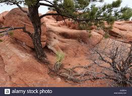 Garden Of Rocks by Determined Trees Growing In The Rocks Of Garden Of The Gods In