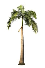 different types of trees pictures of different types of palm trees lovetoknow