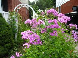 phlox flower phlox flowers are the of the summer garden silive