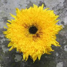 teddy sunflowers simple sunflower arrangements