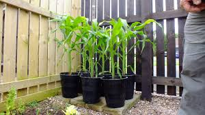 how to grow sweetcorn in pots part 3 looking good youtube