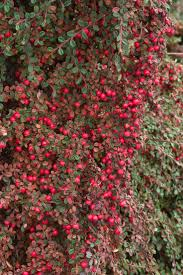 57 best shrubs images on pinterest plant catalogs shrubs and hedges