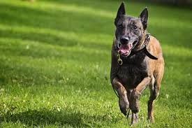 belgian shepherd hypoallergenic best dogs for running put your shoes on and have fun
