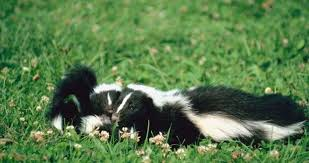 How Do You Get Rid Of Skunks In Your Backyard How In The World Do You Get A Stuck Skunk Out Of A Bottle