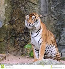 royal bengal tiger stock image image of bengal hunt 33372845 royalty free stock photo