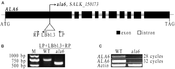 frontiers ala6 a p4 type atpase is involved in heat stress